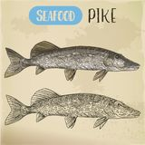 Northern pike sketch. Fish and seafood signboard Stock Image