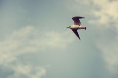 River seagull fly Royalty Free Stock Image