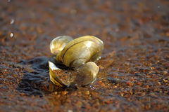 River seashells Stock Images
