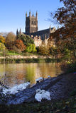 River Severn and Worcester Cathedral. Looking over the River Severn towards Worcester Cathedral, resident mute swans in the foreground stock photos