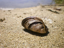 River shell Royalty Free Stock Images