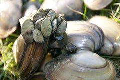 River shell Royalty Free Stock Photos