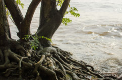 River shore roots Royalty Free Stock Images