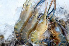 River Shrimp common on ice Stock Images