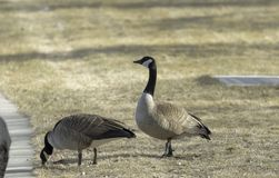 River Side Geese royalty free stock image