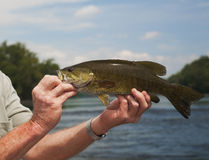 River Smallmouth Bass Stock Images