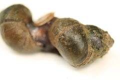 River snail. Close up  river snail in Thailand.It is food for  thai people Stock Photography