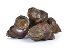 River snail on white background Stock Photos