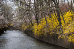 River in spring with forsythia Royalty Free Stock Photos