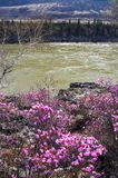 River and spring's flower. Altay Royalty Free Stock Photos