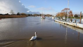 River Stour Christchurch Dorset England UK with swan swimming away from camera stock video footage