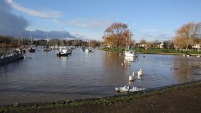 River Stour Christchurch Dorset England UK with two swans swimming away from camera stock footage