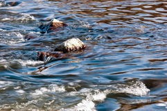 River stream. Bigger stones lie in a river stream stock photos