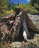 River stump. Stump on a creek bed royalty free stock photography