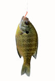 River sunfish on hook Stock Images