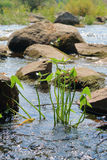 On the river in the sunny day. The picture was taken in Ukraine, on the Yuzhny Bug river. In the foreground, a plant called a Arrowhead. In the background Royalty Free Stock Photography