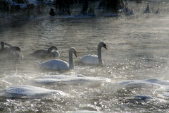 River and swan. In winter Royalty Free Stock Photos
