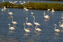 River Tagus Flamingo. Wildlide at the Estuary of the River Tagus, Portugal, EU Stock Photos