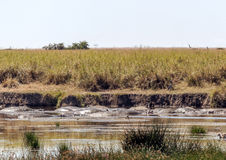 River in Tanzania with hippos Stock Images