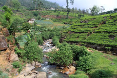 River and tea plantation Stock Photography
