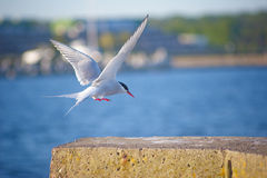 River Tern. Flying and landing Stock Photos