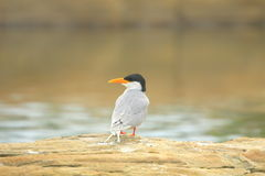 River tern Stock Photos