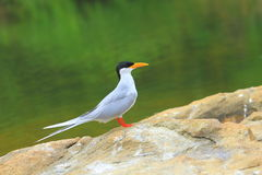 Free River Tern Royalty Free Stock Photos - 4158568