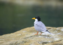 River tern Royalty Free Stock Image