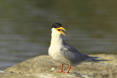 Free River Tern Royalty Free Stock Image - 4468046