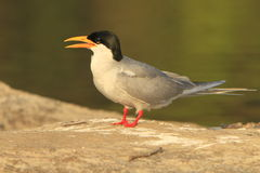 River tern Stock Image