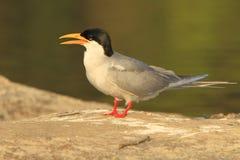 Free River Tern Stock Image - 5319721