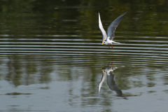 River Tern Bird in  flight Royalty Free Stock Photography