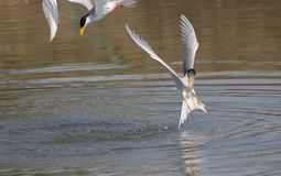 River tern bird Royalty Free Stock Images