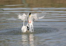 River tern bird Royalty Free Stock Photos