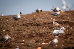 River tern breeding site Stock Photography