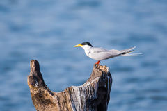 River tern  Royalty Free Stock Photos
