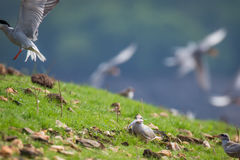 River tern chick and fish Stock Photography