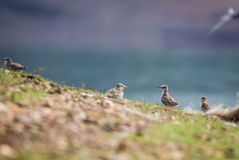 River tern chicks at a breeding site Stock Images