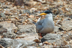 River tern closeup. Canon 6D 550mm ISO 600 1/2500 f4.0 Stock Images