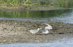 River tern family Royalty Free Stock Photo