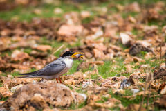 River tern feeding Royalty Free Stock Photo