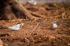 River tern feeding its offspring Stock Image