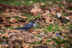River tern with fish Royalty Free Stock Photo