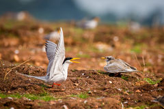 River tern with fish interacting with chick Royalty Free Stock Photo
