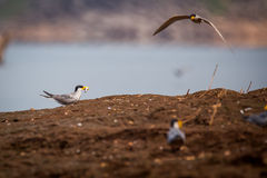 River tern with fish in its bill and in flight Royalty Free Stock Photos