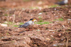 River tern with fish in mouth. Royalty Free Stock Photo