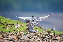 River tern in flight Stock Images