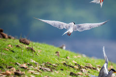 River tern flying Royalty Free Stock Photography