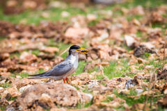 River tern with food Stock Photo