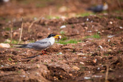 River tern with a hunt Royalty Free Stock Images